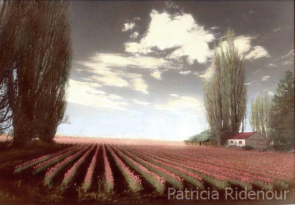 atricia Ridenour_Tulip Fields_public art Collection_washington state arts commission